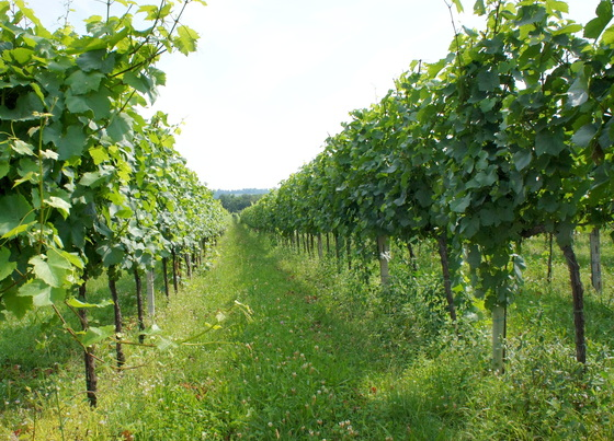 Il Mosnel vineyard.JPG